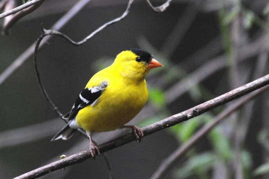 A late spring male American goldfinch has molted into breeding plumage.