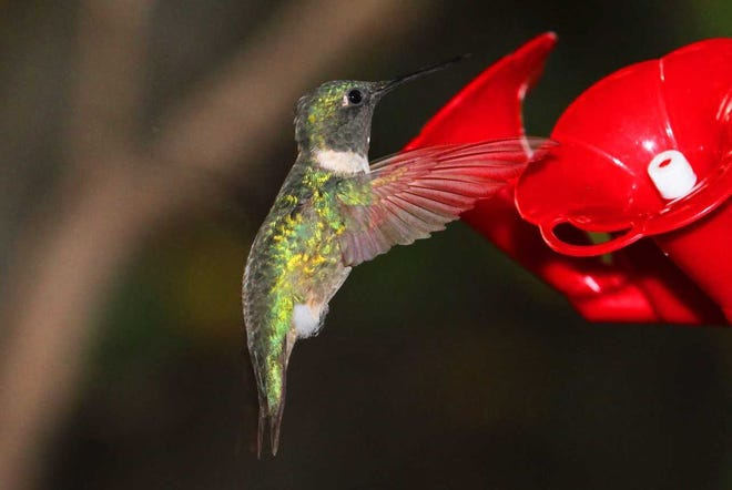A male ruby-throated hummingbird visits a nectar feeder.