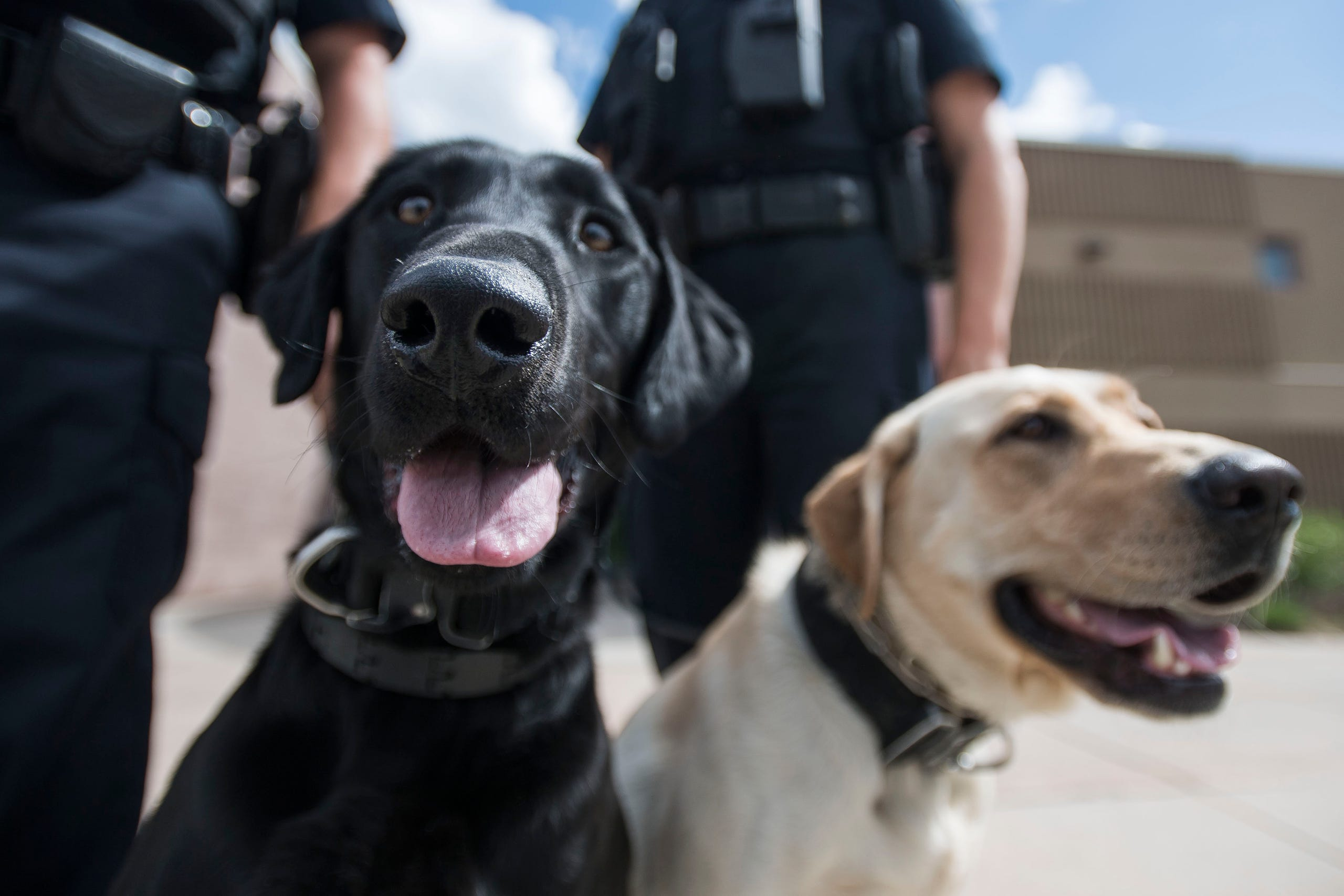 Meet dogs Maizey and Raven of the Larimer County Sheriff's Office