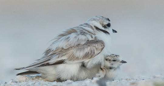 Snowy plover chicks find refuge under a parent on the south end of Fort Myers Beach on Wednesday May, 29, 2019.