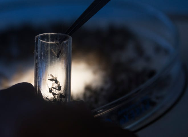 Mark Kensington, Laboratory Assistant at Coachella Valley Mosquito and Vector Control District separates different species of mosquitos in order to identify potentially West Nile virus carrying mosquitos.