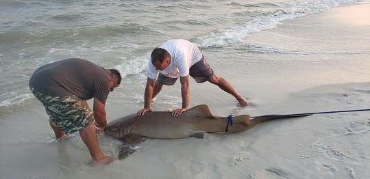 Members of the No Bones Fishing Club tag a nurse shark after catching it Sunday on Navarre Beach.