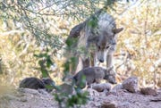 Mexican gray wolf pups on display at the Phoenix Zoo, June 4, 2019.