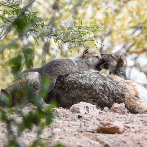 Mexican gray wolf pups on exhibit at the Phoenix Zoo, June 4, 2019.