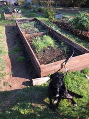 This raised bed is ready for the winter with a mixed cover crop planted on it. The dog and the protective mesh over the bed keep the wild turkeys from feeding on the cover crop.