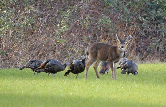 A yearling deer and wild turkeys eat together in a field south of Monmouth.