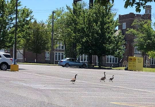 A few Canada geese stragglers make their way back to their nesting site after police closed Landis Avenue to allow the gaggle of about 30 to safely cross, after one was struck by a vehicle.