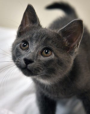 Smokey is a 9-week-old, gray, male domestic short-haired kitten. He is friendly, playful and is available for adoption at the Wichita Falls Animal Services Center.