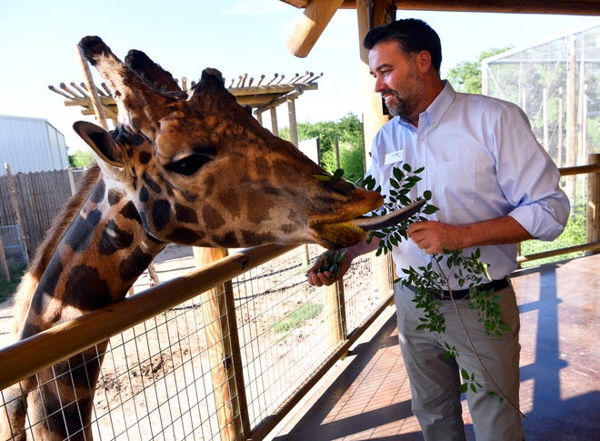 One of the Abilene Zoo's giraffes uses its tongue to reach for leaves held June 4 by new director Jesse Pottebaum. Pottebaum comes to the Big Country from the Austin Zoo where he served as deputy director.