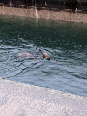 A moose swims across the St. Mary river at Soo Locks where it was trapped in a canal on Tuesday, June 4.