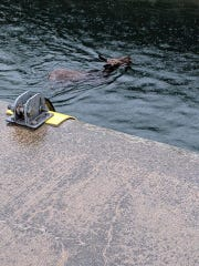 A moose swims in the St. Mary River at Soo Locks where it got stuck in the canal on Tuesday, June 4.