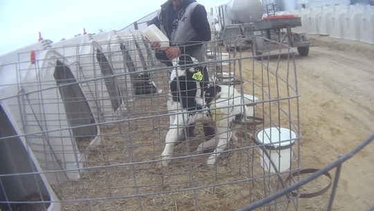 Photos from Animal Recovery Mission video released June 4, 2019 of horrific animal abuse and drug use that is occurring at the Fair Oaks Farm's Dairy Farm Adventures in Fair Oaks, Indiana