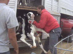 Fair Oaks Farms abuse: Ethical questions come from all directions in undercover videos