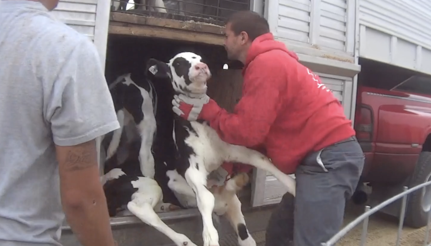 Fair Oaks Farms abuse: Ethical questions come from all ...
