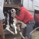 Ethical questions come from all directions in undercover Fair Oaks Farms videos