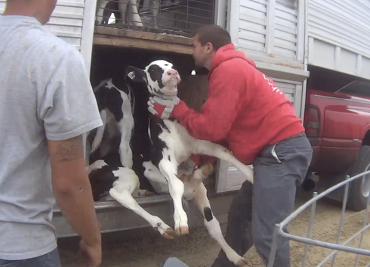 Photos from Animal Recovery Mission video released June 4, 2019 of horrific animal abuse that is occurring at the Fair Oaks Farm's Dairy Farm Adventures in Fair Oaks, Indiana.