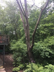 This butternut tree started life as a butternut seed in West Virginia and now towers over the Coralville home of John and Diana Lundell.