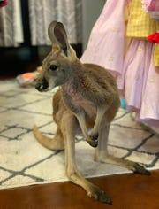 JoJo the kangaroo