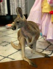 JoJo the kangaroo