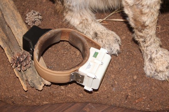 A GPS collar is shown next to the feet of a bobcat mount at Hawthorn Glen Nature Center in Milwaukee. Researchers with the Wisconsin Department of Natural Resources fit bobcats and other wildlife with GPS collars to learn more about the animals' habits and territories.