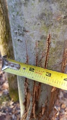 A ruler shows the spacing of claw marks made by a bobcat in March, 2019 on a tree near Erin, Wis. Bobcats use their extremely sharp claws to mark their territories.