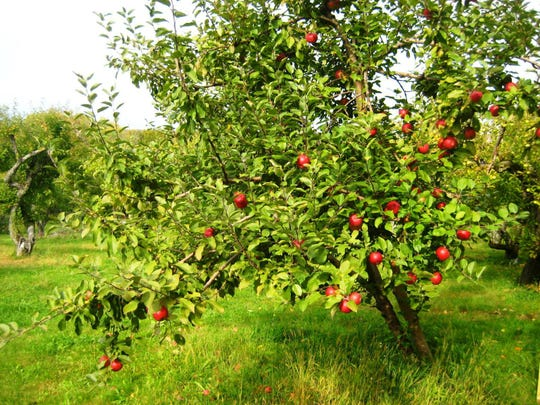 Weston's Antique Apple Orchards grows 200 varieties of the fruit.