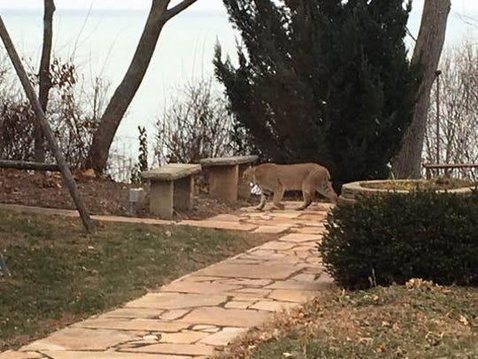 An adult bobcat was photographed in Dec., 2018 in a yard in Whitefish Bay, Wis. The secretive wild cats have been documented in all 72 Wisconsin counties, according to the Department of Natural Resources.