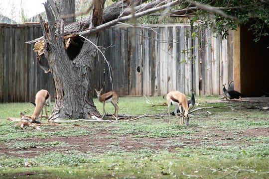 Some Reeve's Muntjacs and peacocks at Alameda Park Zoo under a damaged tree in their enclosure Wednesday afternoon.