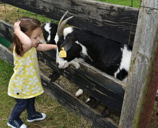 Maybury Farm visitor Jolene Regnier, 21 months, scratches her head after getting an affectionat nuzzle from a goat during a June 5 visit.