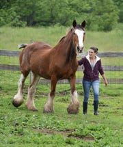 Maybury Farm animal worker Rachel Moran brings in Scotty the Clydsdale horse to meet some visitors.