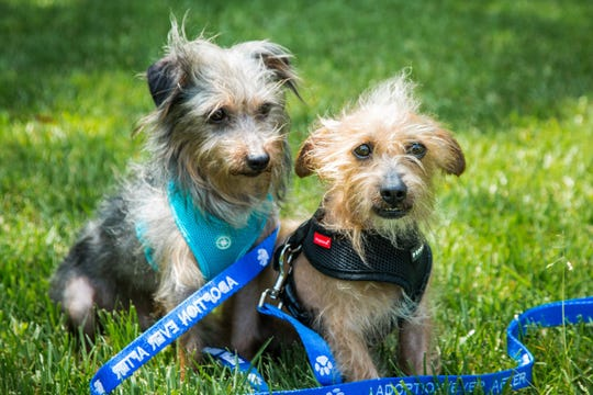 "Two male shaggy mixed terriers that were among 38 dogs seized from the Coachella home of a woman suspected of tossing 3-day-old puppies into a Dumpster, are ready for adoption and will be featured on Hallmark Channel's ""Home & Family"" on Thursday, June 6, 2019."