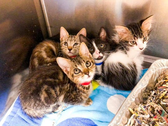 These kittens, and many more, are available for foster or adoption at the Santa Rosa County Animal Shelter.