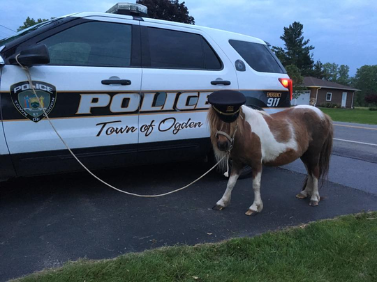 At some point while in custody, the mini horse got to wear a policeman's hat