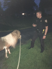 Officers put a long leash on the animal and let it trot alongside their slow-moving vehicle.