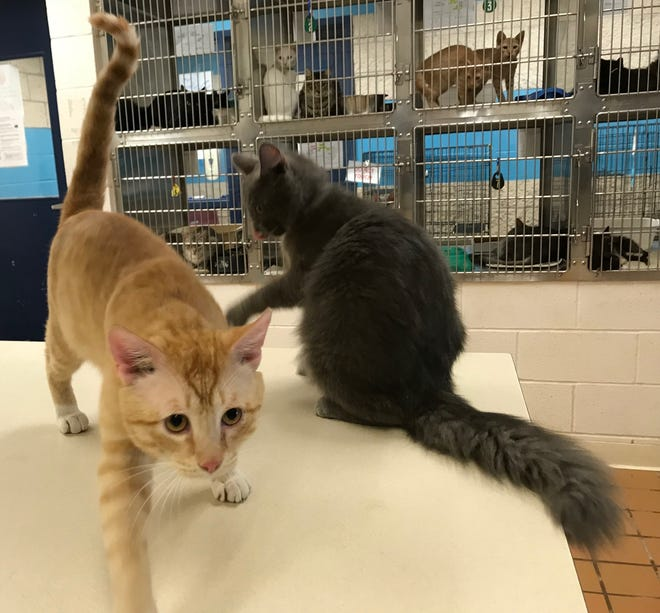 Yellow, 1, walks across the table as Blue, 1, playfully swipes at him at the San Angelo Animal Shelter, 3142 US-67, on June 4, 2019. Yellow and Blue were brought to the shelter together in December 2018. Both of them are available for free adoption throughout June during Adopt A Shelter Cat month.