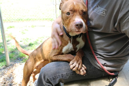 Since coming to Brandywine Valley SPCA, Pumpkin has gained 20 pounds.