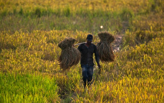 An Indian farmer carries a harvested paddy in a paddy field on the outskirts of Gauhati, India, on May 27. More than 70 percent of India's 1.25 billion citizens engage in agriculture.
