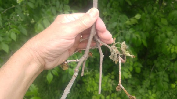 Witch's broom caused by anthracnose