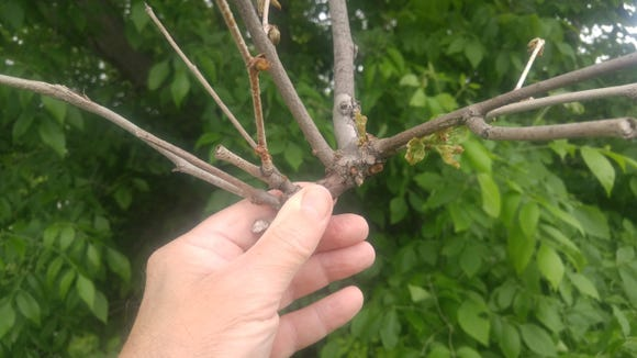 Witch's broom caused by anthracnose.