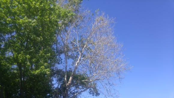 The maple tree on the left is flush with new leaves while the sycamore on the right is nearly bare.