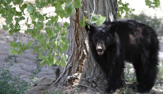 A male bear cub stands under a tree on Monday, May 19, 2014, in the yard of a residence off of Road 6448 in Kirtland.