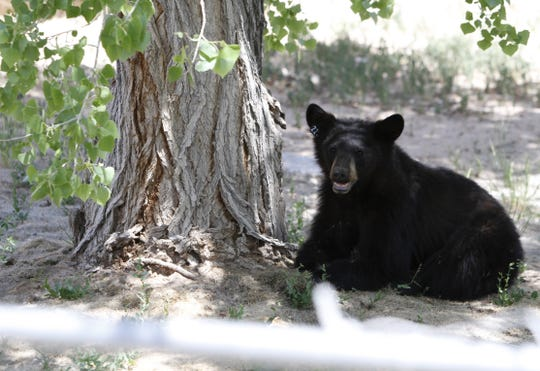 A male bear cub sits under a tree on Monday, May 19, 2014, in the yard of a residence off of Road 6448 in Kirtland.
