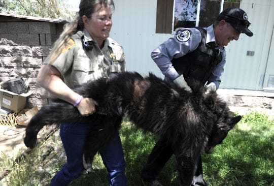 A young bear is removed from a residential area in Kirtland in May 2014 after being tranquilized.
