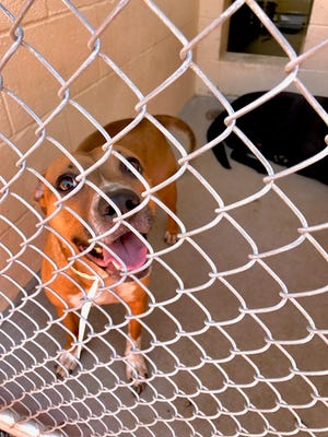 MCACC is encouraging people to adopt  healthy dogs, such as this one, from their west shelter.
