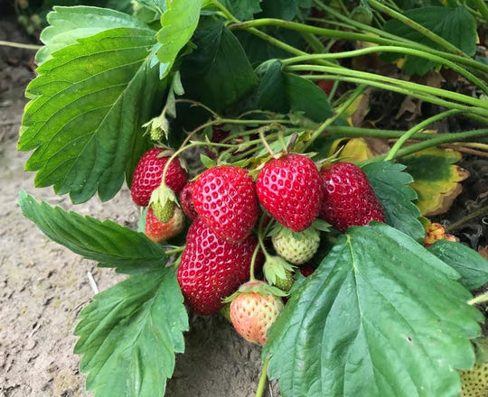 Strawberries come in June bearing, everbearing and day neutral. Choose the one you want and get them in the ground.