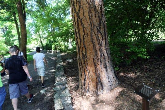A California black oak along a trail.