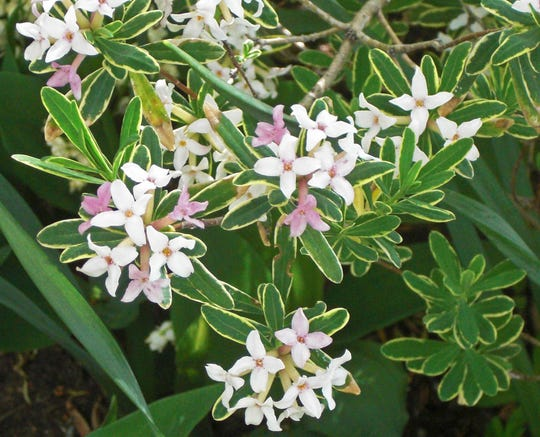 Popular Daphne x burkwoodii works well in a fire-resistant landscape.