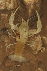 This rare bristly cave crayfish was found with a chunk missing from its body at Smallin Cave.