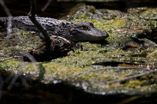 A young alligator sunbathes along the shores of  Wakulla Springs. The Museum of Florida History will open an new exhibit called Alligators: Dragons in Paradise on Saturday.