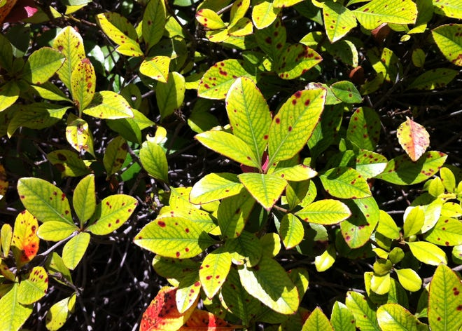 Brown spots on Indian hawthorns appear to be Entomosporium fungal leaf spots, and there is no cure. Your only recourse is to replant with something that isn't susceptible. Carissa hollies are the best lookalikes. Dwarf Chinese hollies, dwarf yaupons and one of the improved Japanese boxwood selections would also be good options.